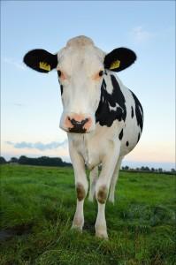cows-217142_1280